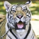 O tigre Sultão (Foto: Mario Rodrigues)