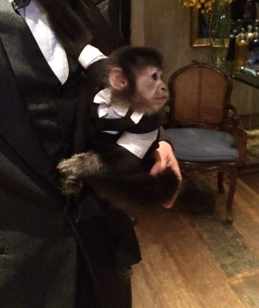 O macaco prego Skeeper:  vestido de smoking para o baile de gala (Foto: João Batista Jr.)