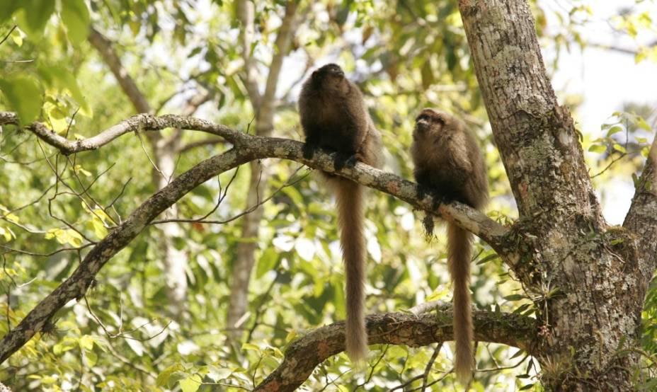 Macacos sauás no Núcleo Engordador do Parque Estadual da Cantareira