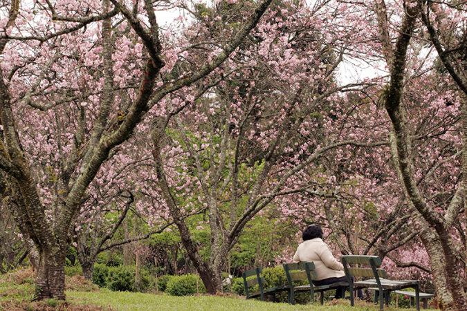 Parque do Carmo - Cerejeiras 5