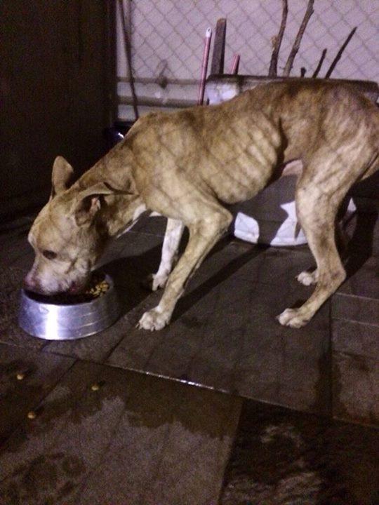 Tatá, um dos pit bulls encontrados abandonados: ela morreu no dia seguinte ao resgate (Foto: Reprodução)