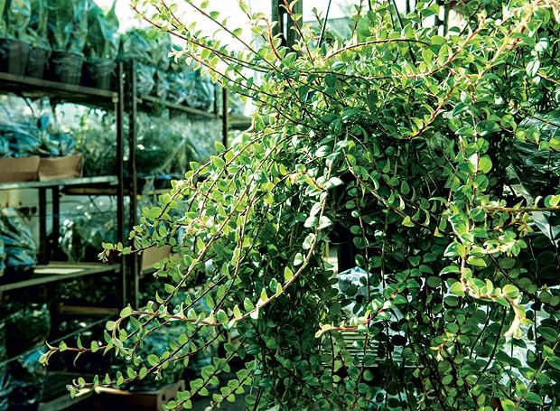 Plantas ornamentais para os sagitarianos