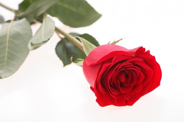 plantas_flores_flores_rosa_vermelha_3139651