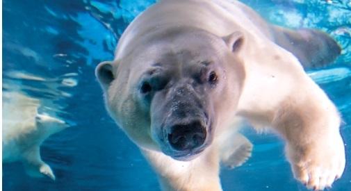 Peregrino: um dos ursos polares do local (Foto: Mario Rodrigues)