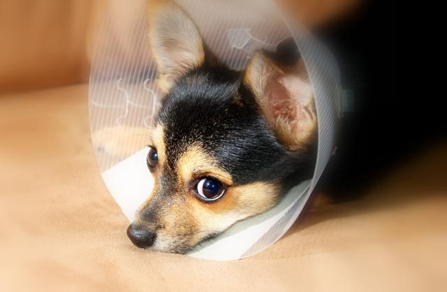 cachorro veterinário