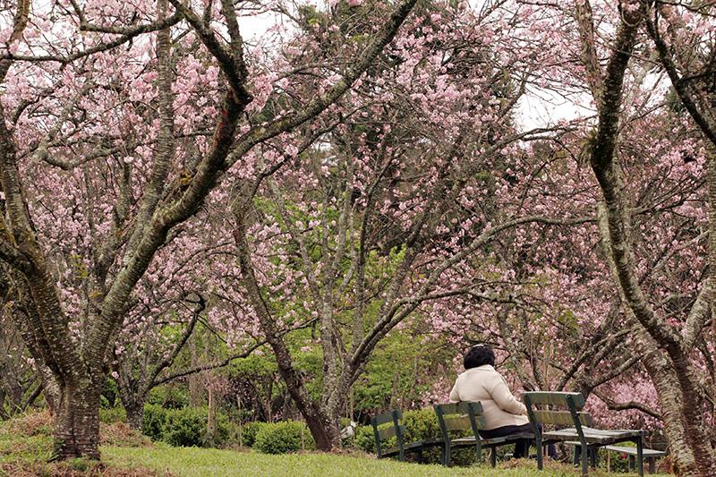 O Festival das Cerejeiras chega à 40ª edição no Parque do Carmo, na Zona Leste da cidade, no sábado (4) e domingo (5)