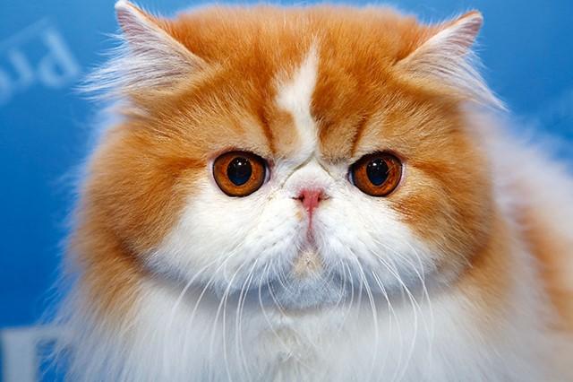 gato persa exposição