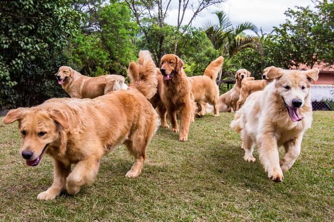 Cães do canil Golden Trip, especializado na raça Golden Retrievers.