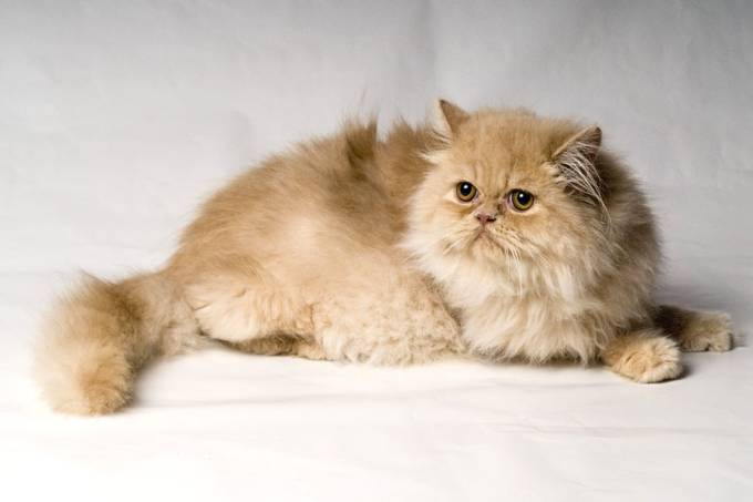 Gato persa.