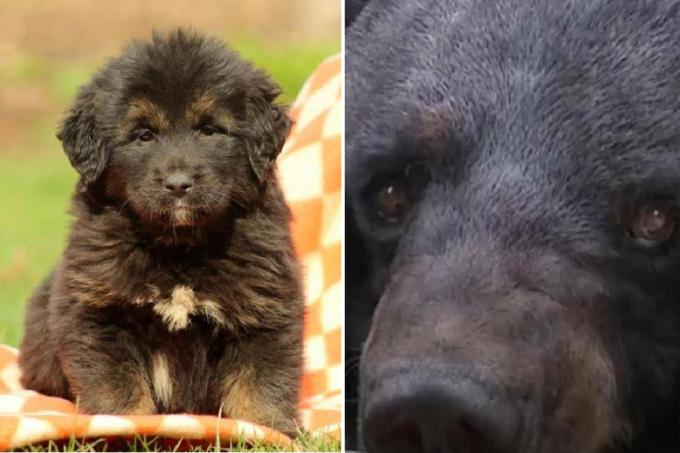 urso-mastim-china