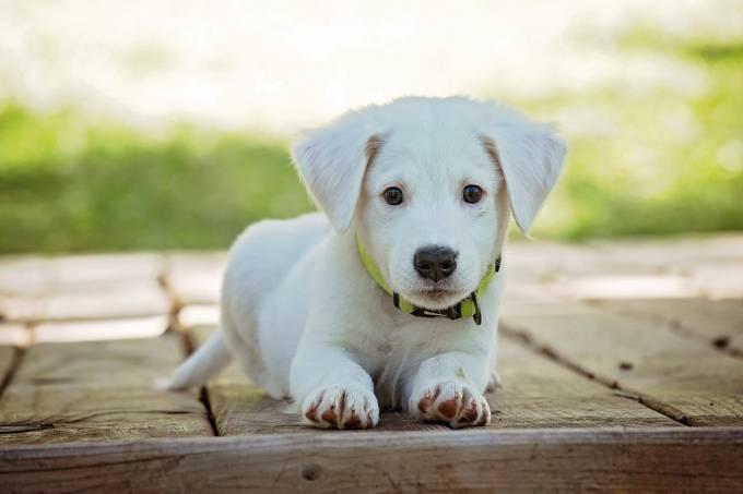 filhotinho-cachorro