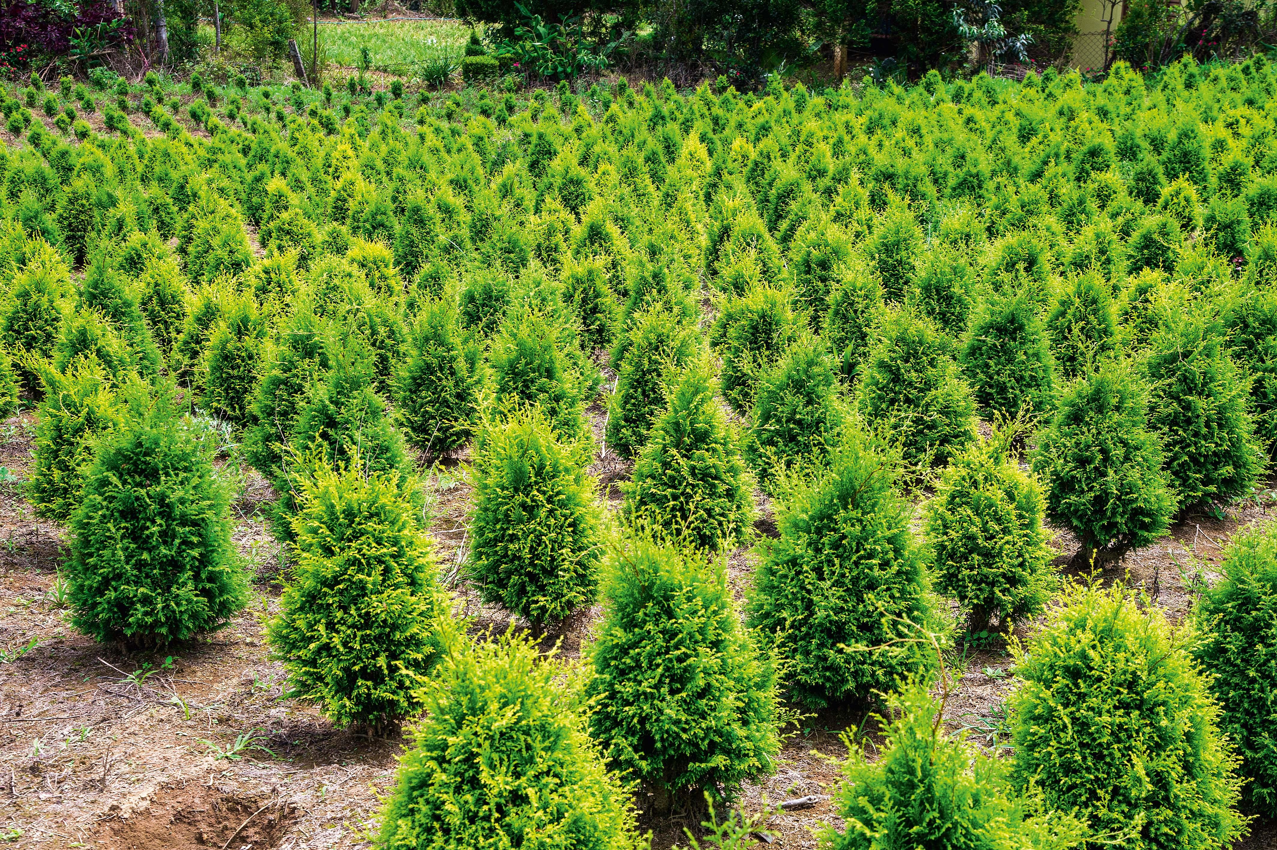 Os paulistanos que ainda produzem árvores naturais de Natal | VEJA SÃO PAULO