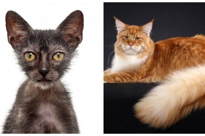 Gatos eventi felino