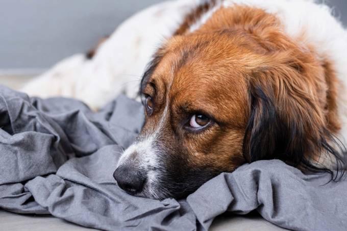 Cachorro triste pet