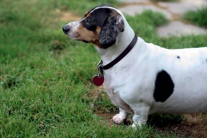 Sobrepeso cachorro