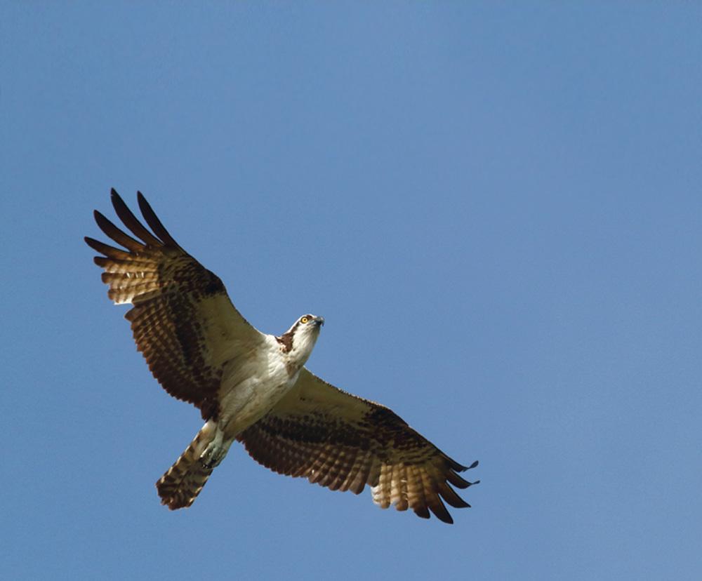 Foto da parte de baixo de uma águia pescadora voando