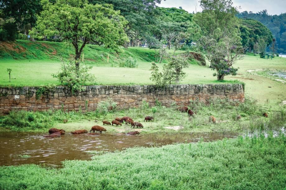 Capivaras que habitam a represa: maior roedor do mundo