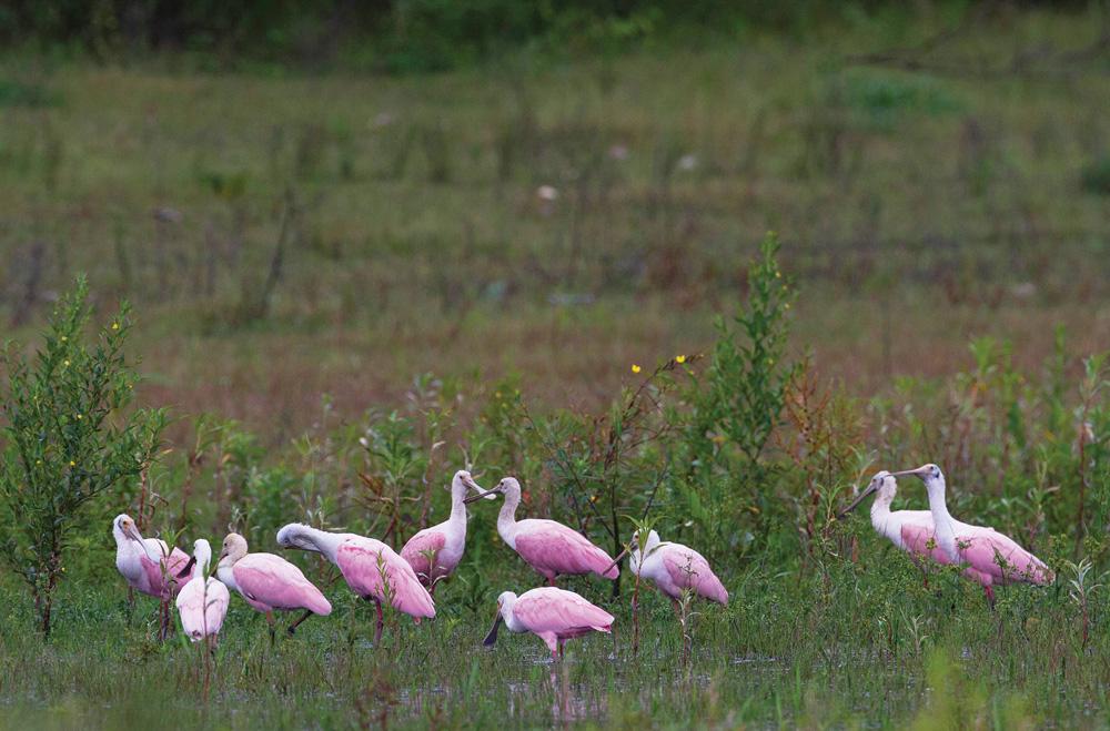 Aves colhereiras no mato