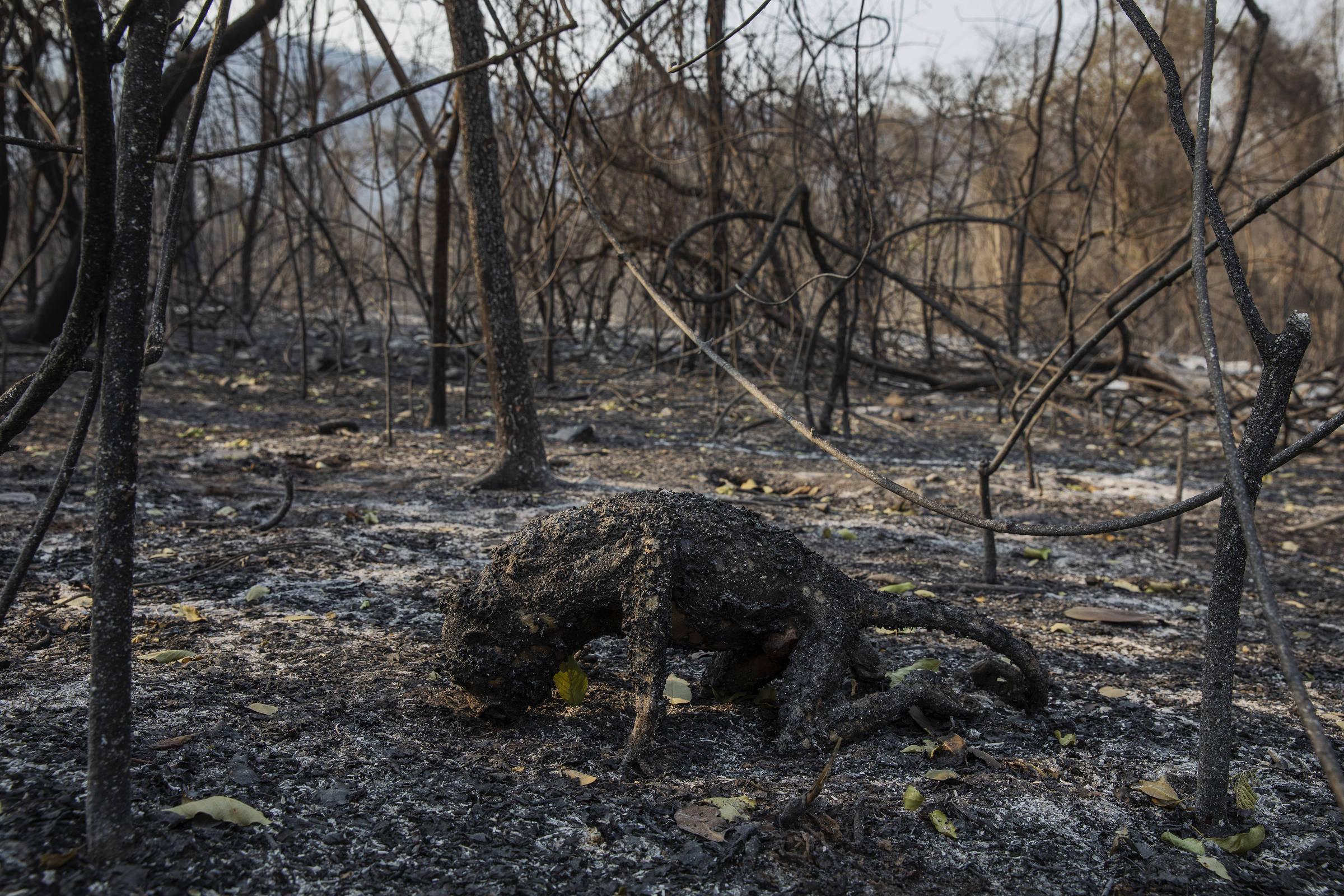 Imagem um macaco carbonizado por um incêndio florestal. Mata ao redor, igualmente carbonizada