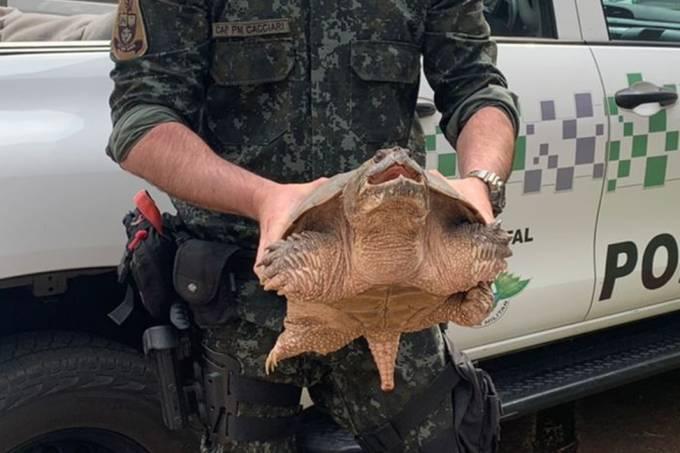 tartaruga-aligátor