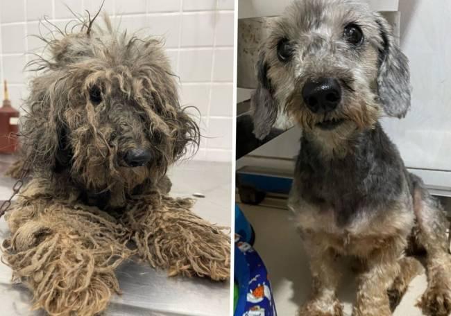 Na montagem, uma cadela aparece bastante maltratada, com os pelos sujos e entrelaçados; na outra imagem, após tratamento, ela aparece limpa e bem cuidada