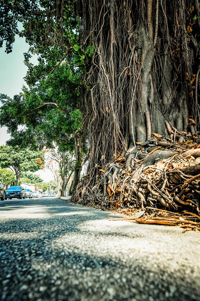A imagem mostra uma grande árvore em meio a calçada da avenida Rebouças.